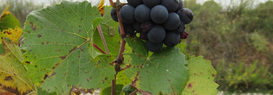 Biodynamic Grapes